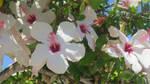 Hibiscus flower - 2