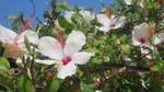 Hibiscus flower - 3