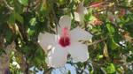 Hibiscus flower - 4