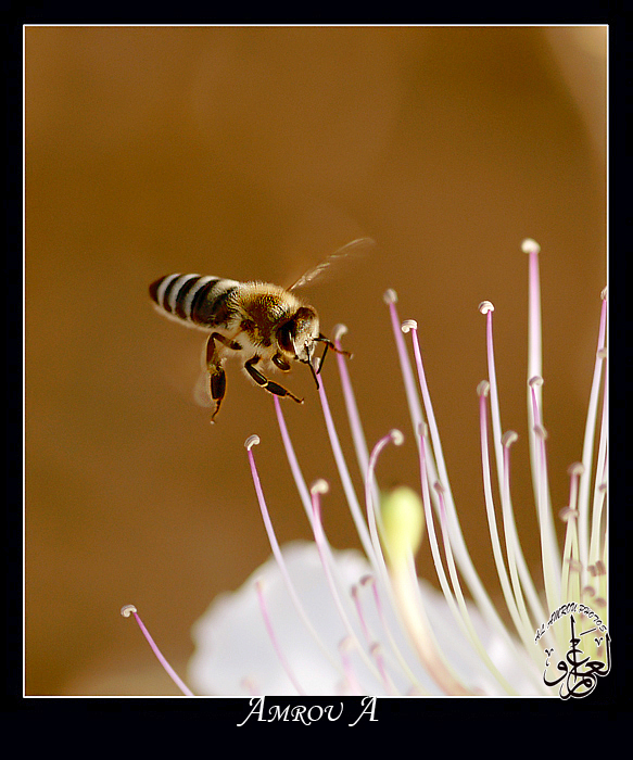 Honey Bee by AMROU-A