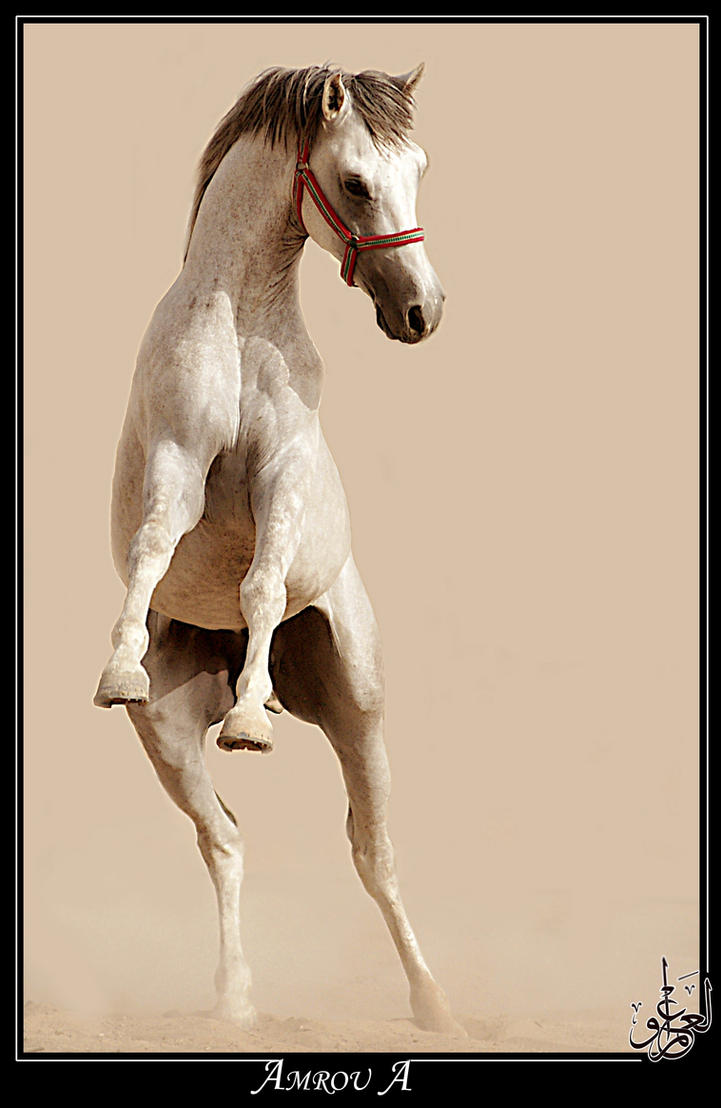 Highness - Arabian horse by AMROU-A
