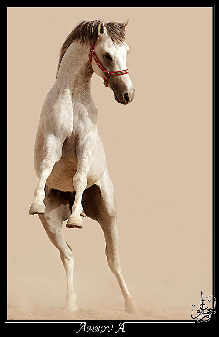 Highness - Arabian horse by AMROU-A