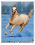 Blue dust- Arabian horse
