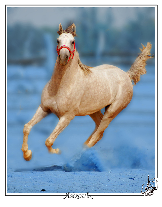 Blue dust- Arabian horse by AMROU-A