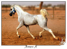 white-pure Arabian horse by AMROU-A