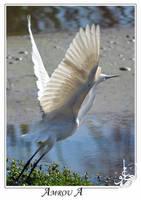 white heron by AMROU-A
