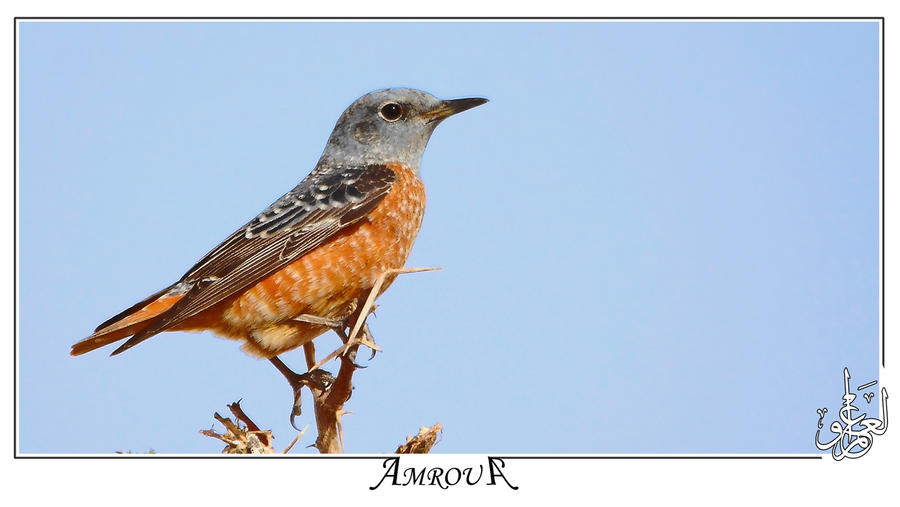 Rufous tailed rock thrush by AMROU-A
