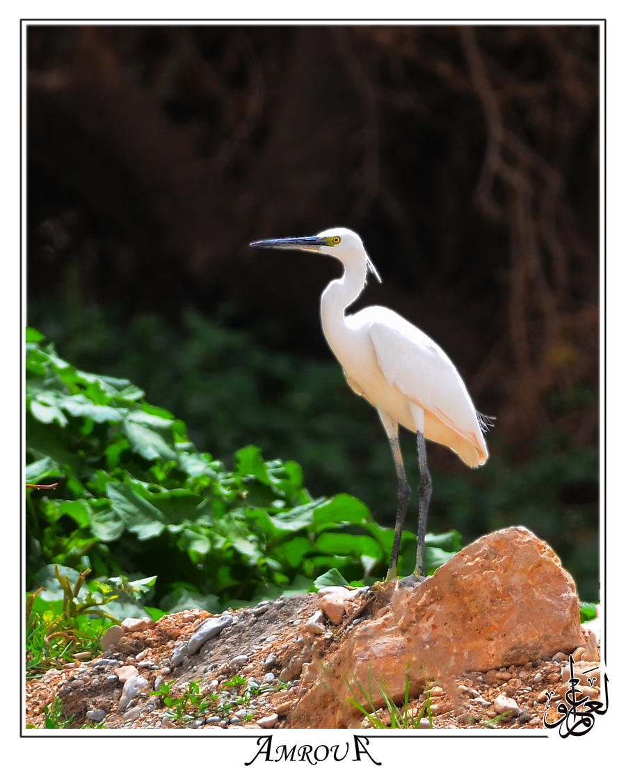 White heron Contrast by AMROU-A