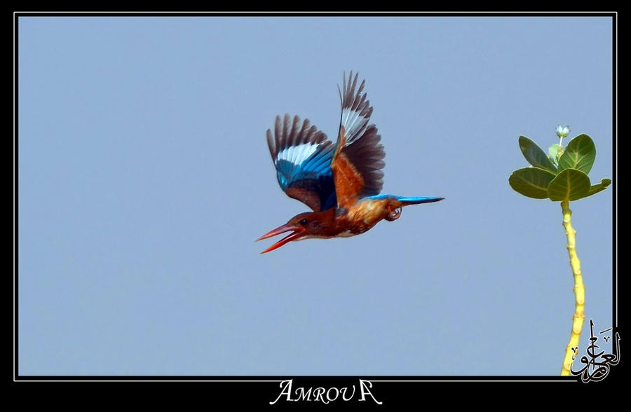 Flying kingfisher by AMROU-A