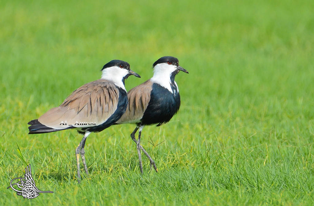 Pair of spur wings lapwing by AMROU-A