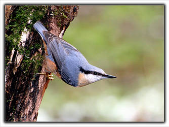 Nuthatch - 10 by dgball
