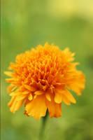 Orange Bloom by CIBS
