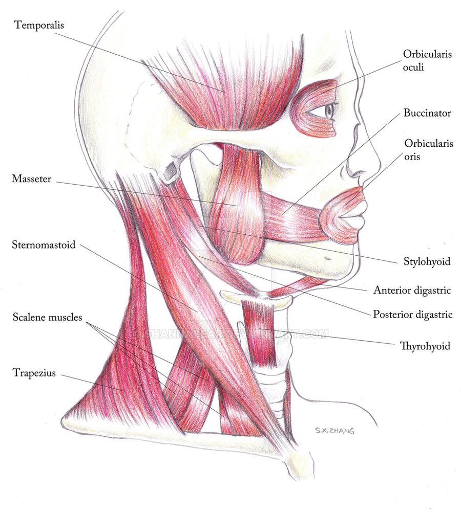 Awesome Muscles In The Neck And Head Images - Human Anatomy Images ...