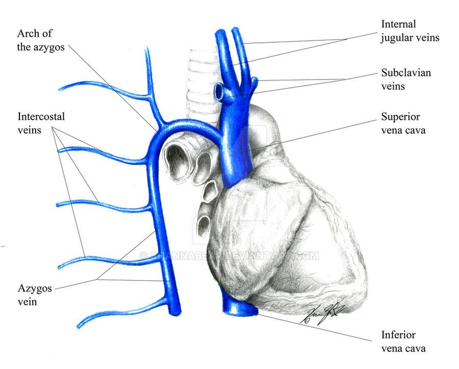 Major Veins of the Heart 1 by ShannaBear on DeviantArt