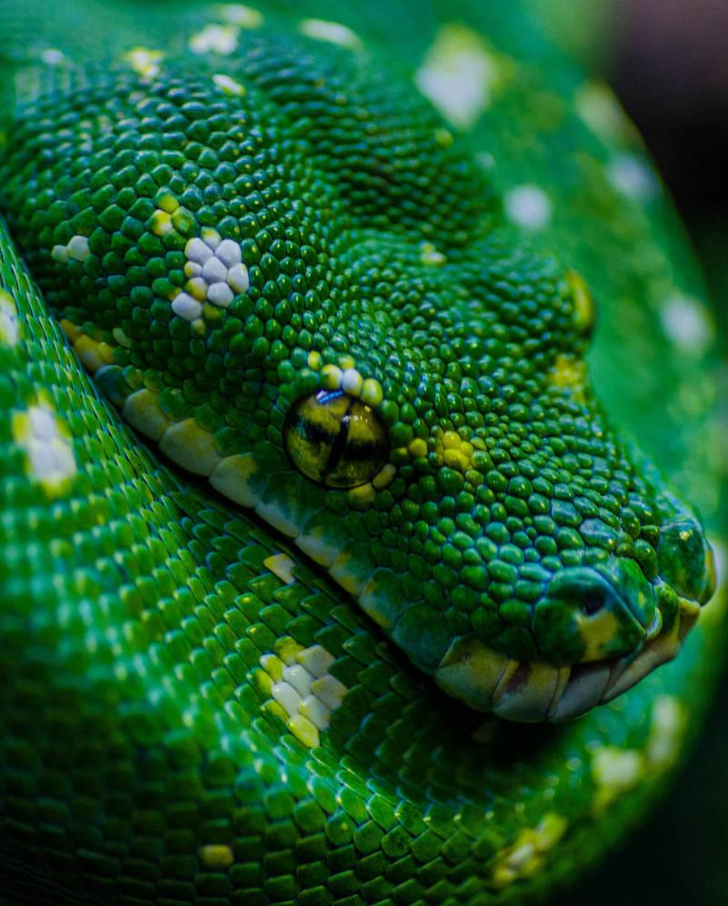 Green Tree Python 3231 by SkyRats