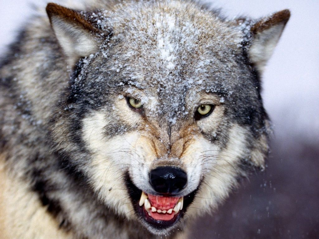 Angry Wolf i dont draw this by fotiniwolf34 on DeviantArt