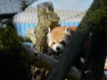 Red Panda Stalker by Cheryona