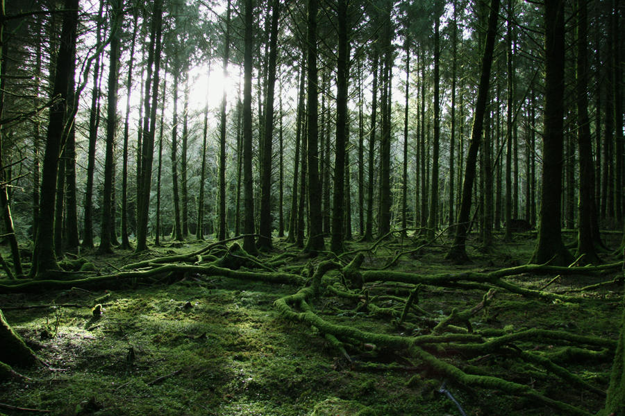 Image Gallery Evergreen Forest