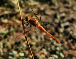 The Dragon Fly - Khandala by trivediisha