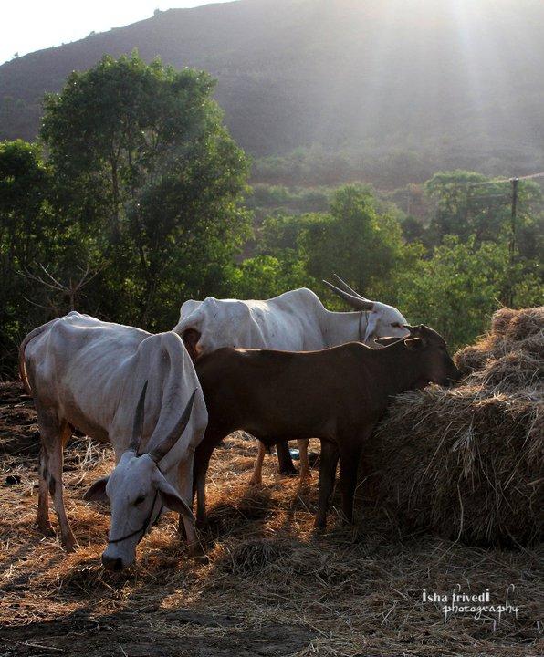 Village morning .. by trivediisha