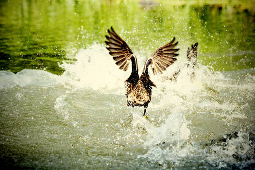 Central Park's duck