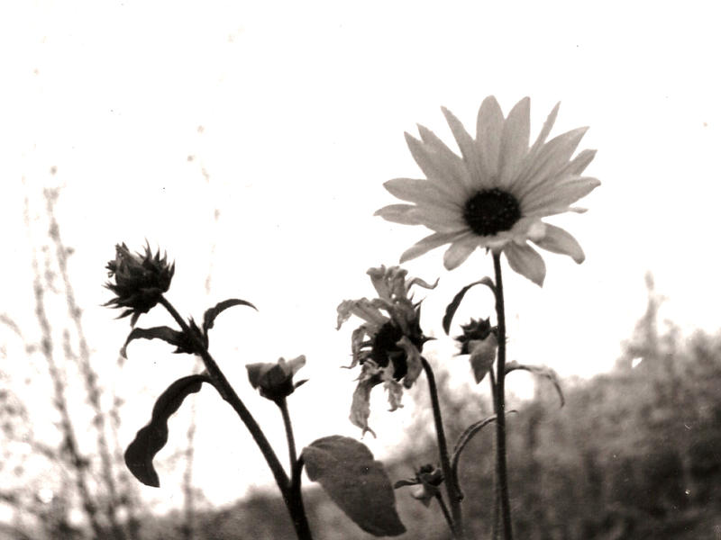 3 Sunflowers by MrWolfeConcoctions