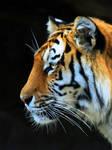 Tiger VII