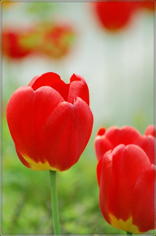 Tulips_by_runemetsa.jpg