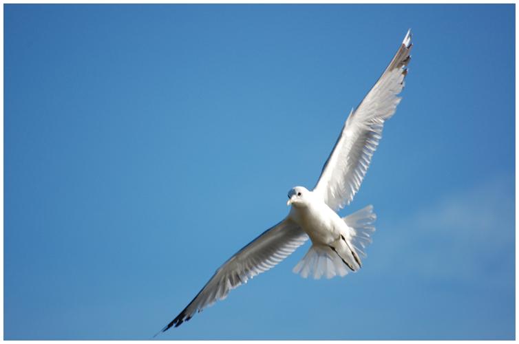 Seagull_II_by_runemetsa.png