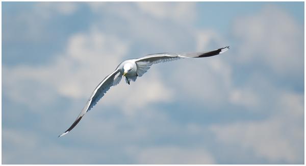 Seagull_I_by_runemetsa.png