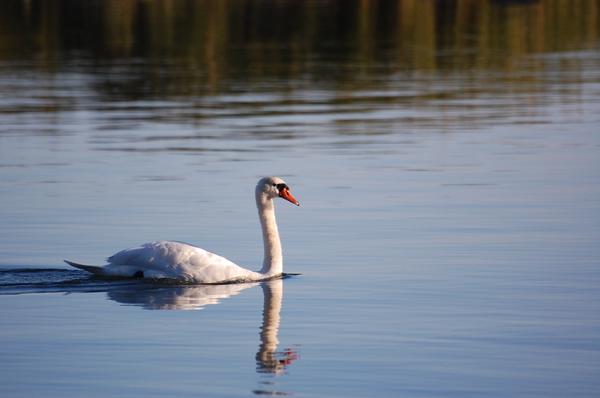 Swan_by_runemetsa.png