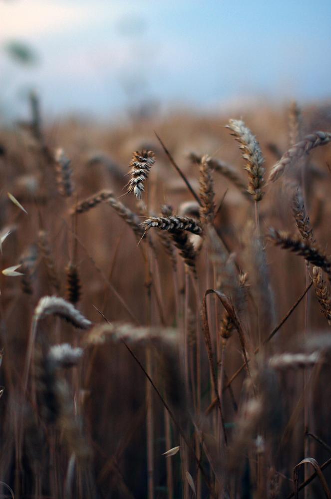 Wheat_by_runemetsa.jpg
