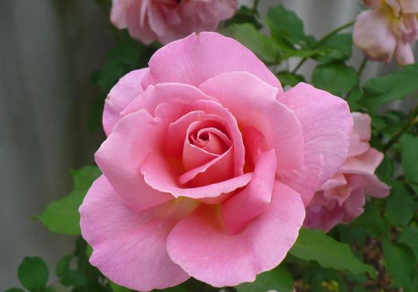 Pink Rose for Ellen by Aussie-Blonde