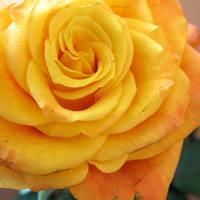 Rose Of Sunshine by ausrejurke