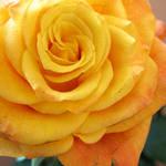 Rose Of Sunshine