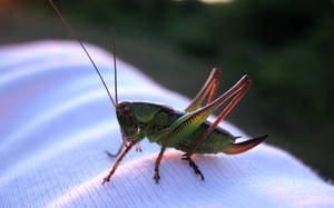 Green Grasshopper by ausrejurke