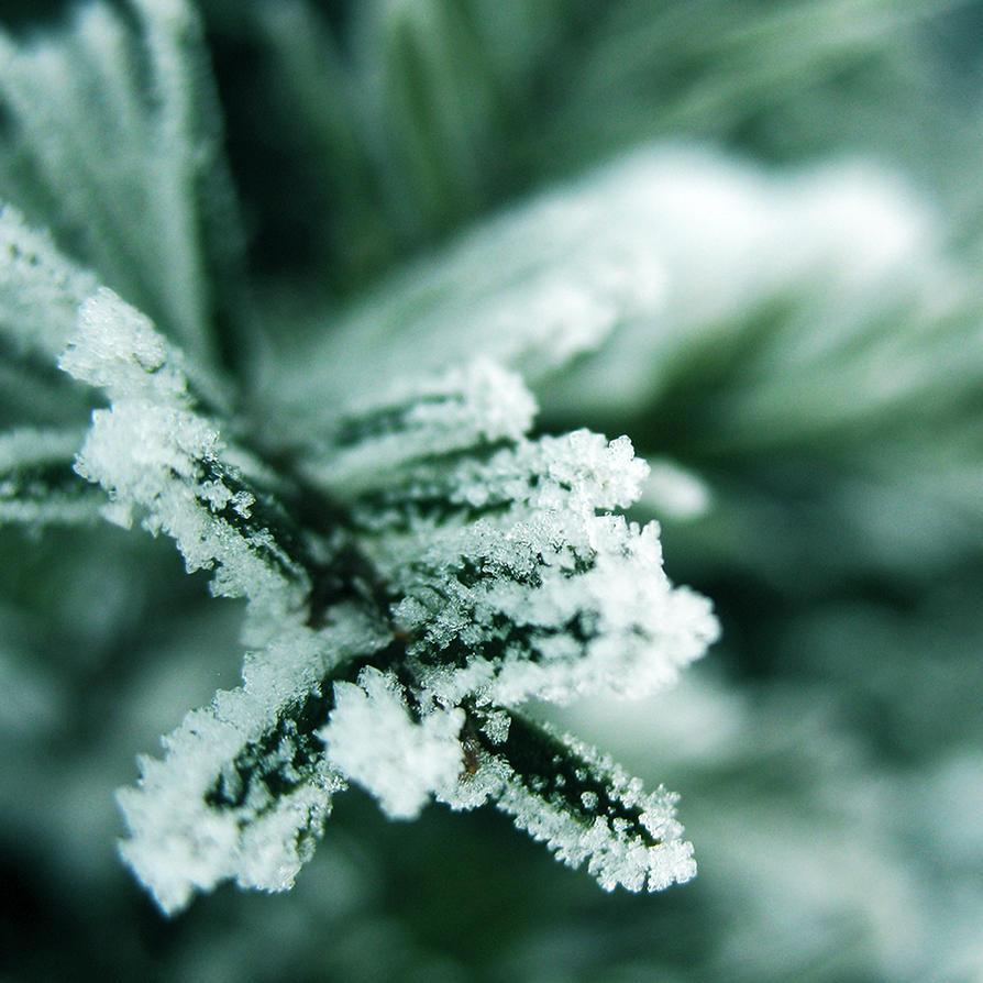 Frosty Bush by ausrejurke