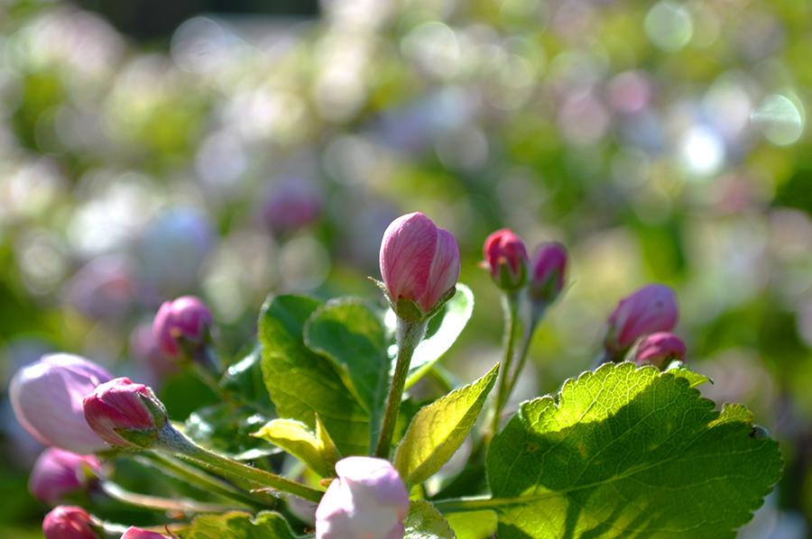 Spring Blossoms by ausrejurke