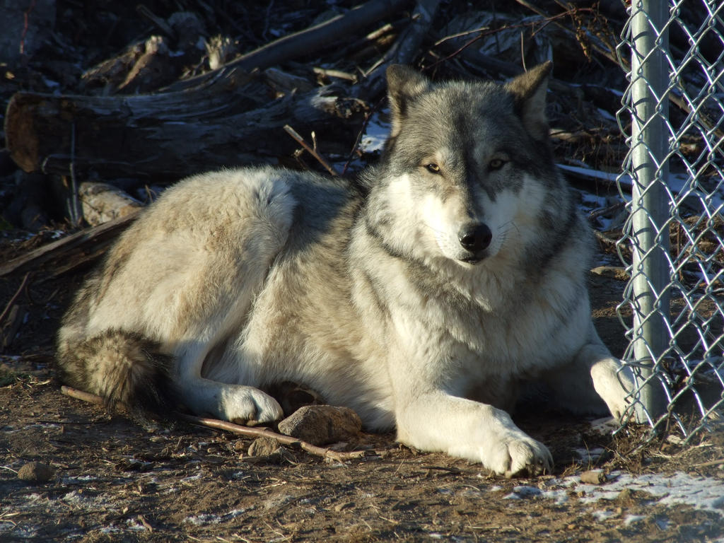 Relaxing Gray Wolf
