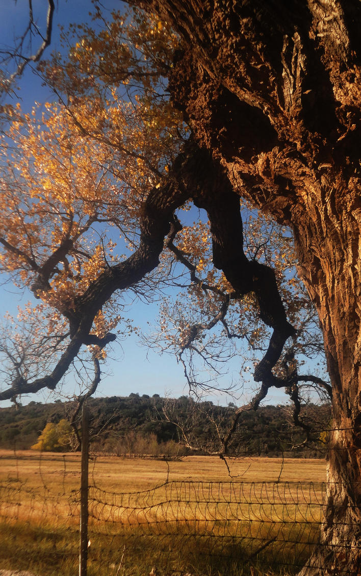 The Arms of a Cottonwood by SharPhotography