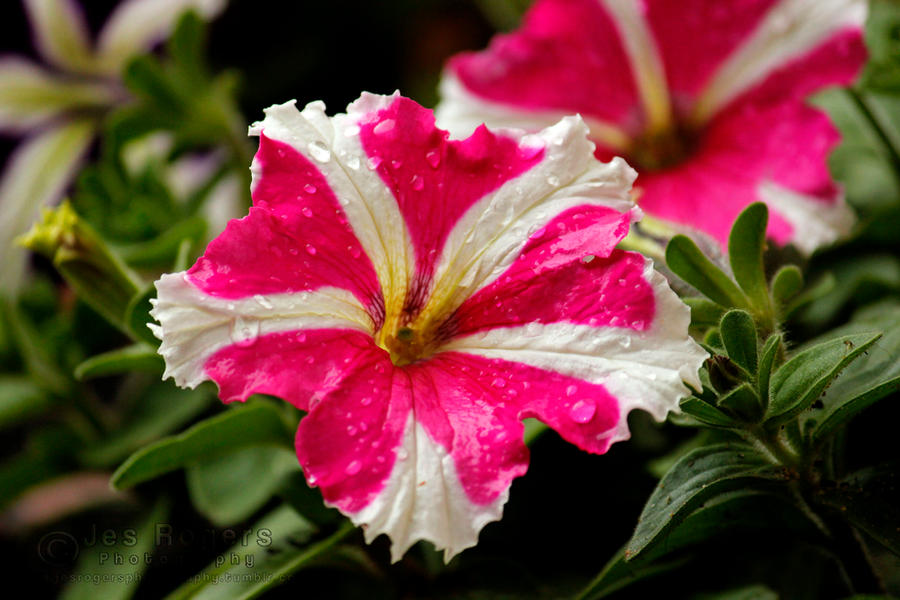 Pink and white flowers by jesrogersphotography on deviantart pink and white flowers by jesrogersphotography mightylinksfo