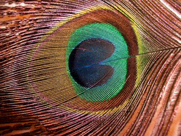 Peacock Feather-2 by Rubyfire14-Stock