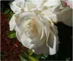 White Rose-1