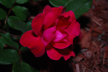 Evening Rose 001 by UncleMonkey777