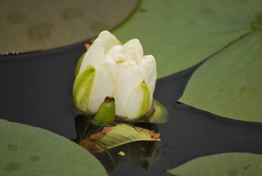 Young Water Lily by UncleMonkey777