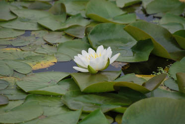 Water Lily in Bloom 001 by UncleMonkey777