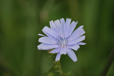 Azure Crepe Bloom by UncleMonkey777