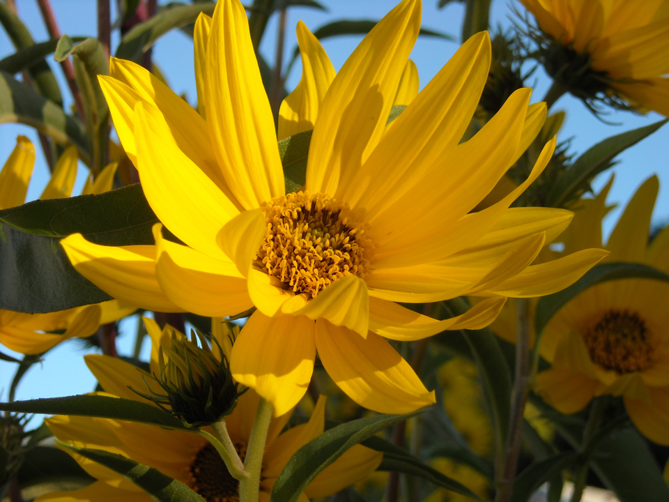 Helianthus maximiliani - Maximilian's Sunflower by romanysoup