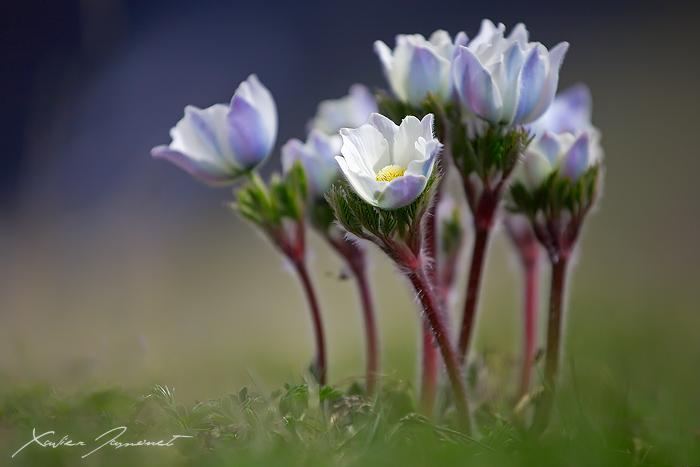 Anemones by XavierJamonet
