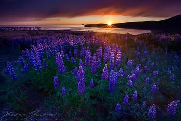 Lupins Sunset by XavierJamonet